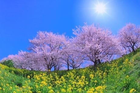 桜並木とナノハナに太陽の写真素材 [FYI02096489]