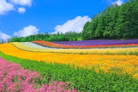 ファーム富田,彩りの畑(コマチソウ,カルフォルニアポピー)の写真素材 [FYI02096543]