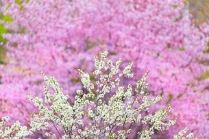 桜の花とスモモの花の写真素材 [FYI02096556]