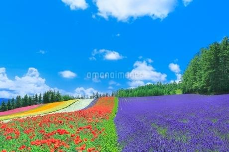 ファーム富田,彩りの畑(ポピー,ラベンダー)の写真素材 [FYI02096576]