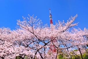 東京タワーと桜の写真素材 [FYI02096618]
