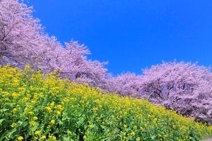 桜並木とナノハナの写真素材 [FYI02096637]