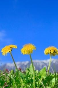 タンポポの花の写真素材 [FYI02096677]