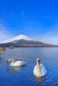 富士山と山中湖の白鳥の写真素材 [FYI02096697]