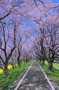桜並木と道の写真素材 [FYI02096709]