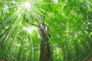 新緑のブナの巨木(森の神)と光芒の写真素材 [FYI02096713]