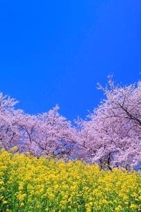 桜並木とナノハナの写真素材 [FYI02096720]