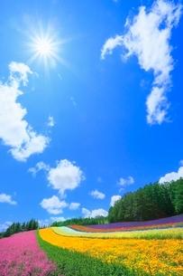 ファーム富田,太陽と彩りの畑(コマチソウ,カルフォルニアポピー)の写真素材 [FYI02096787]