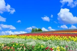かんのファーム,花畑(ダリア,サルビア)と緑の樹林の写真素材 [FYI02096798]