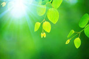 新緑のカツラアップの写真素材 [FYI02096801]
