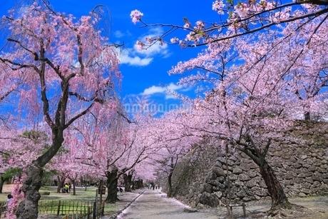小諸懐古園の桜の写真素材 [FYI02096822]