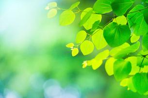 新緑のカツラアップの写真素材 [FYI02096835]