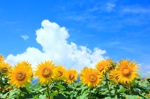 ヒマワリの花と入道雲の写真素材 [FYI02096837]