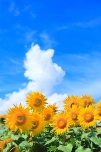 ヒマワリの花と入道雲の写真素材 [FYI02096888]