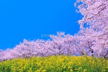 桜並木とナノハナの写真素材 [FYI02096899]
