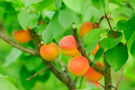 杏の実の写真素材 [FYI02096925]