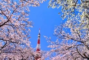 東京タワーと桜の写真素材 [FYI02096929]