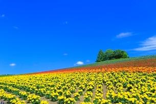 かんのファーム,花畑(マリーゴールド)と緑の樹林の写真素材 [FYI02096973]