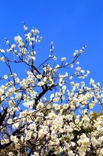 梅の花の写真素材 [FYI02097027]