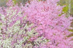 桜の花とスモモの花の写真素材 [FYI02097029]