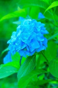 アジサイの花の写真素材 [FYI02097030]