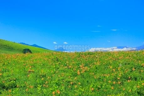霧ケ峰高原に咲くニッコウキスゲの花の群落と富士山の写真素材 [FYI02097039]