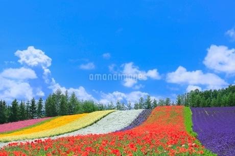 ファーム富田,彩りの畑(カスミソウ,ポピー,ラベンダー)の写真素材 [FYI02097060]