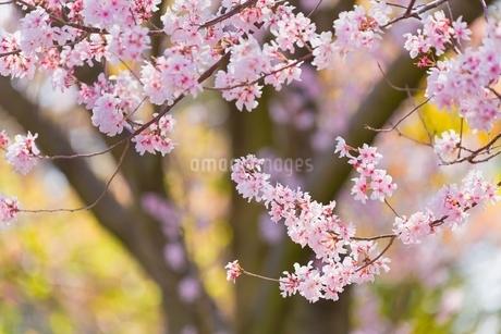 桜の花アップと幹の写真素材 [FYI02097067]