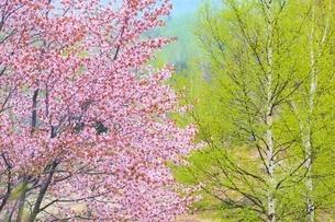 桜の花と新緑の白樺の写真素材 [FYI02097072]