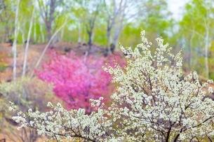 桜の花と新緑の白樺の写真素材 [FYI02097088]