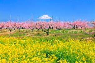 新府桃源郷 菜の花と桃の花に富士山の写真素材 [FYI02097137]