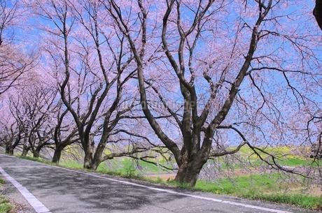 桜並木と道の写真素材 [FYI02097169]