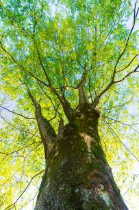 新緑の木の写真素材 [FYI02097217]