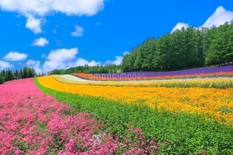 ファーム富田,彩りの畑(コマチソウ,カルフォルニアポピー)の写真素材 [FYI02097271]