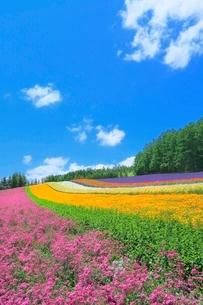 ファーム富田,彩りの畑(コマチソウ,カルフォルニアポピー)の写真素材 [FYI02097280]