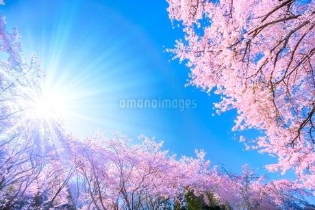 桜の花と青空に太陽の写真素材 [FYI02097290]