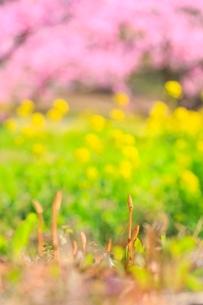 新府桃源郷 ツクシと菜の花に桃の花の写真素材 [FYI02097309]