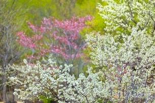 桜の花とスモモの花の写真素材 [FYI02097339]