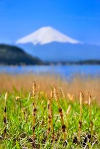 河口湖にツクシと富士山の写真素材 [FYI02097376]