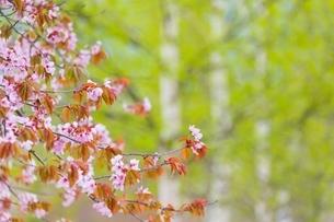 桜の花と新緑の白樺の写真素材 [FYI02097444]