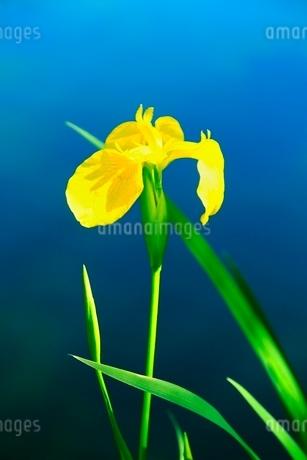 軽井沢雲場池 ショウブの花の写真素材 [FYI02097477]