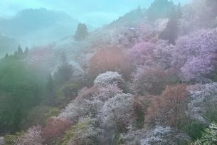 吉野山,下千本の桜の写真素材 [FYI02097501]