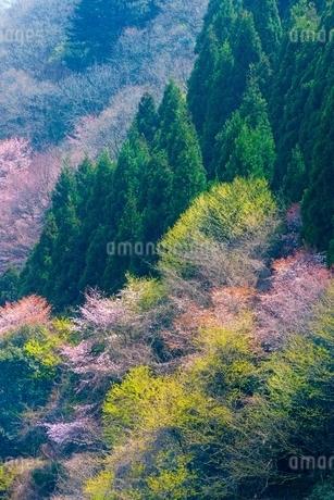 桜の花と新緑の写真素材 [FYI02097522]