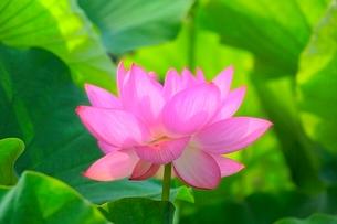 ハスの花の写真素材 [FYI02097523]
