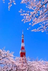 東京タワーと桜の写真素材 [FYI02097539]