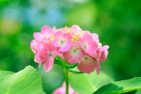 アジサイの花の写真素材 [FYI02097590]