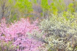 桜とスモモの花に新緑の写真素材 [FYI02097595]