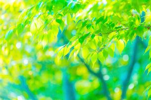 新緑の桜葉アップとぼけの写真素材 [FYI02097597]