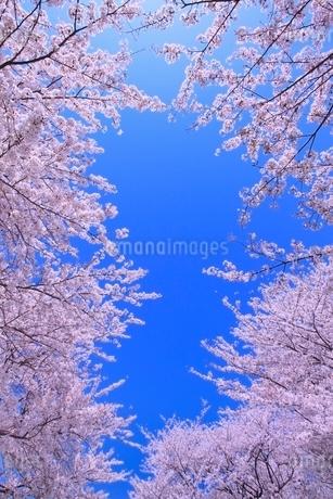 サクラと青空の写真素材 [FYI02097607]