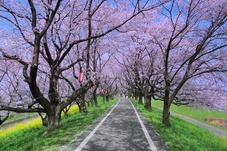 桜並木と道の写真素材 [FYI02097615]